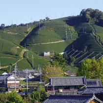 釜塚(南部)の茶畑