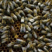 Die Bienenkönigin hat eine Markierung auf dem Rücken und befindet sich in der Bildmitte.