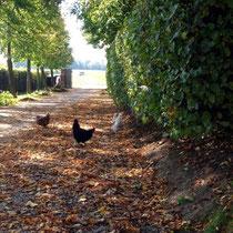 Unsere Hühner laufen wirklich frei herum. Bitte aufpassen, wenn man mit dem Auto kommt.