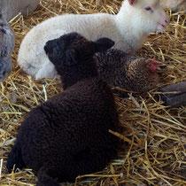 Die Hühner lieben den Schafstall.