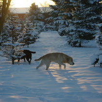 Die Labradore Benny und Emma im Schafwald.
