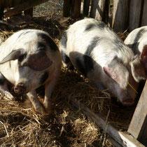 Die drei Schweinchen beim Dösen in der Sonne