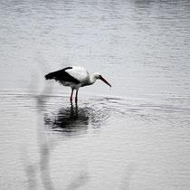 Störche Laufen im Überfluteten Bramautal und suchen Futter 28.02.2010