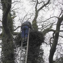 Storchenvater bei Nest Reinigen 28.02.2010