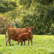 Une des belles vaches limousines et son veau au Masbareau, Royères à proximité de Limoges et de St Léonard-de-Noblat, Haute-Vienne, Limousin, Nouvelle-Aquitaine