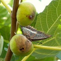 auch den Schmetterlingen schmecken Feigen