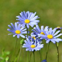 Blaue Gänseblümchen lieben sonnige Plätze.