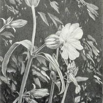 Lichtnelke | 2021 | Bleistift auf Papier | 70 x 50 cm
