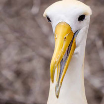 Albatros ondulado (Phoebastria irrorata).