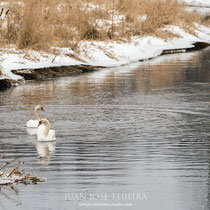 Cisne vulgar (Cygnus olor).