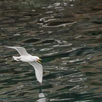 Gaviota tridáctila ( Rissa tridactyla ) rozando el vuelo.
