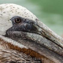 Pelícano pardo de las Galápagos (Pelecanus occidentalis urinator).