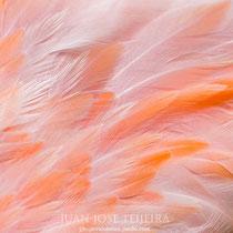 Flamenco del Caribe o rojo (Phoenicopterus ruber) detalle del plumaje.