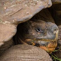 Tortuga gigante de Galápagos (Chelonoidis porteri).