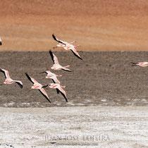 Flamencos en la Laguna de Santa Maria. Tolar Grande, Salta.