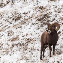 Big Horn ( Ovis canadensis )