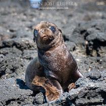 Cría de león marino de Galápagos (Zalophu wollebaeki).