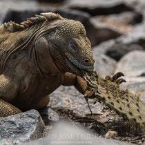 Iguana terrestre de Santa Fé (Conolophus palidus).