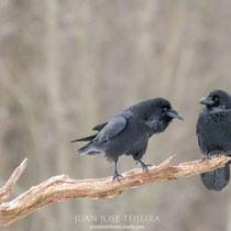 Pareja de cuervos (Corvus corax).