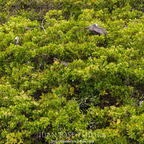 Pelícanos en el manglar.