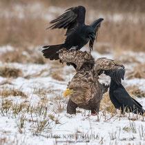 Pigargo acosado por dos cuervos ante una carroña.