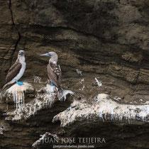 Alcatraz o Piquero de patas azules (Sula nebouxii).