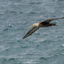 Albatros ondulado o de las Galápagos (Phoebastria irrorata).