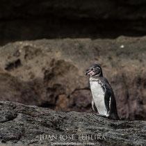Pingüino de las Galápagos (Spheniscus mendiculus).