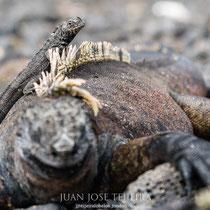 Lagarto de lava sobre una iguana marina.