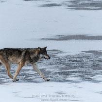 Lobo ( Canis Lupus )