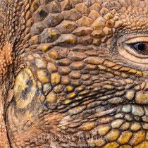 Iguana terrestre, detalle.