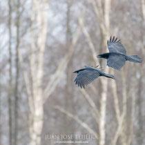 Cuervos en formación.