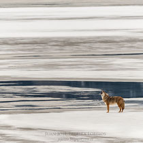 Coyote aullando en Athabasca river