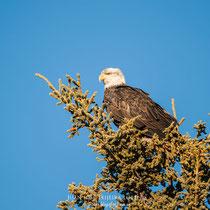 Águila calva, (Haliaeetus leucocephalus)