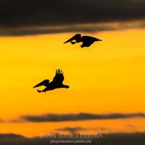 Pelícanos volando al atardecer.