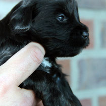 2ter Rüde black&tan [2nd dog black&tan]