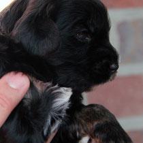 Rüde black&tan [dog black&tan]