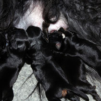 D-Wurf made of Dog´s Wisdom   30.04.2012   3 R[D]:1=schwarz; 2=black&tan / 1 H[B]: tricolor