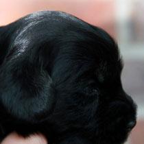 Rüde schwarz [dog black]