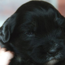 Rüde black&tan [dog black&tan]