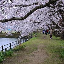 池畔の桜の下で