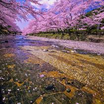 七谷川の花筏
