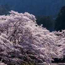 凛々と朝桜
