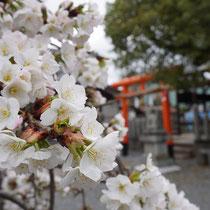 ほかの散りなむ後ぞ咲かまし(三宅神社)