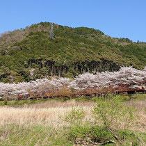 お花見列車(嵯峨野トロッコ列車)