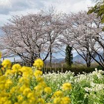 花満開(大井町堤防周辺)