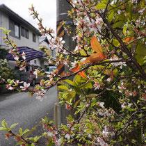 路地の桜(三宅町)
