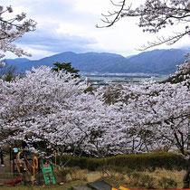 桜花越に亀岡盆地(平和台公園)