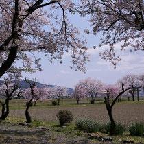 神話と桜(若宮神社)
