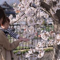桜と共に成長(保津橋左岸ミニ公園)